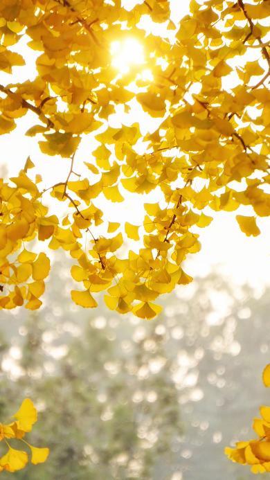 杏叶 黄色 枝叶 秋季