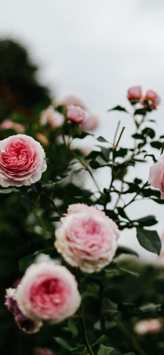 鲜花 枝叶 盛开 花朵  月季