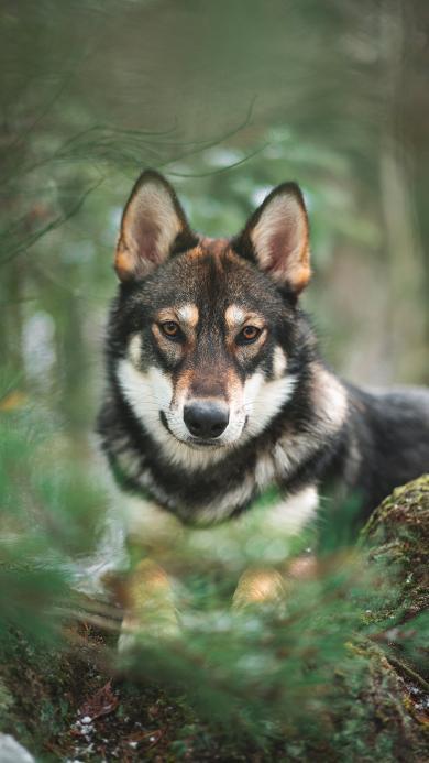 野外 树林 狼犬 狗 微笑