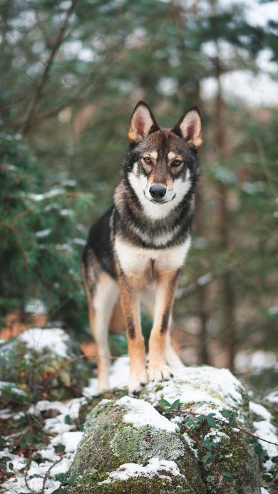 狼犬 雪季 野外 站立 帅气