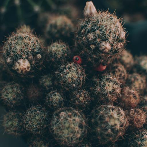仙人球  盆栽 绿植 小花