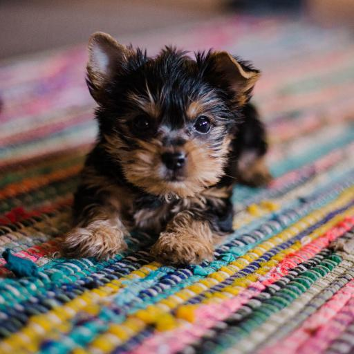 宠物狗 雪纳瑞 幼犬 可爱 地毯