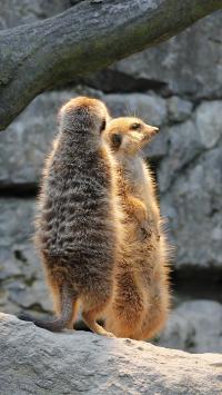 狐獴 猫鼬 站立 哺乳