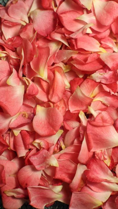 花瓣 鲜花 平铺 渐变
