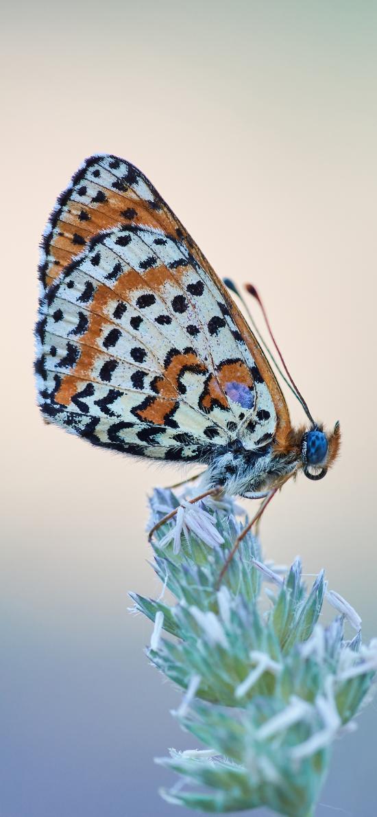 蝴蝶 采蜜 花草 粉翅