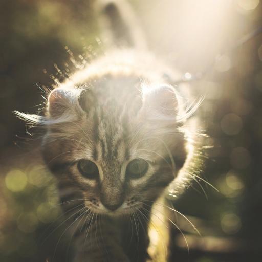 奶猫 猫咪 阳光 宠物 灰猫