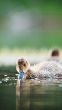池塘 小鸭子 游水 觅食