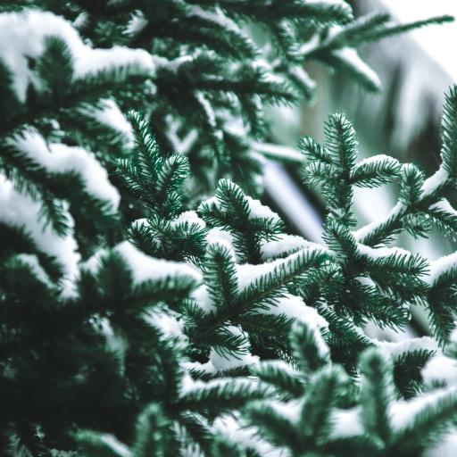树木 松树 松针 白雪 覆盖