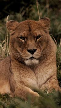 狮子 母狮 皮毛 野外