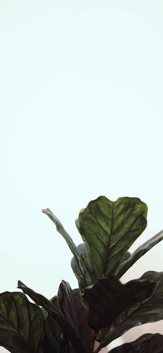 绿植 观赏性 枝叶 大叶