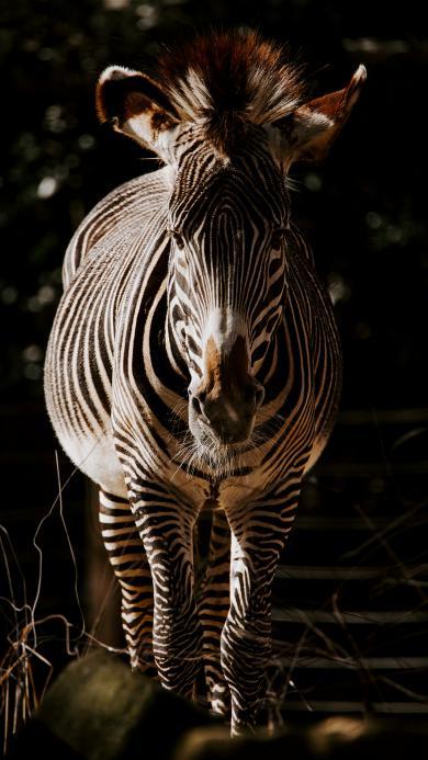 非洲 斑马 黑白 奔跑