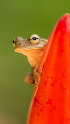 青蛙 益虫 探头 两栖类