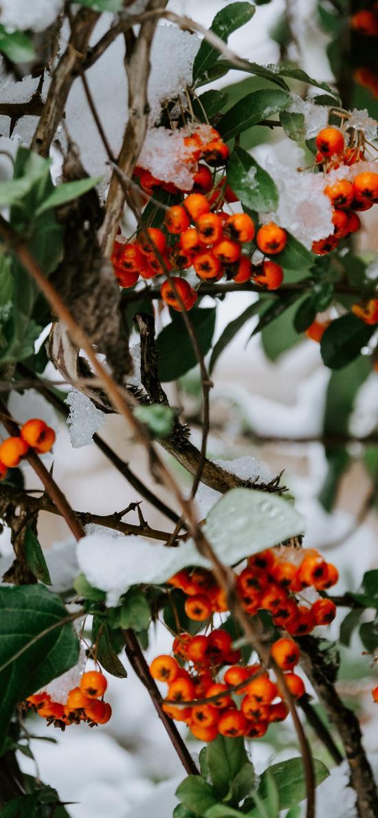 树叶 枝头 霜 冬青