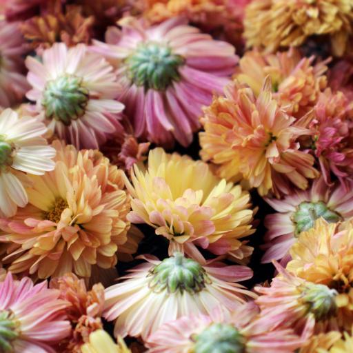 鲜花 盛开 密集 色彩