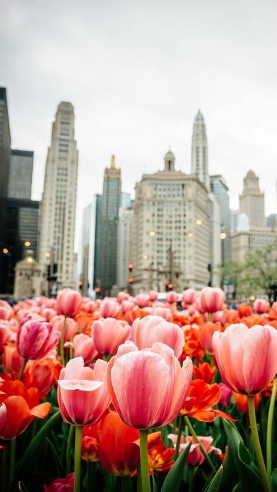 郁金香 鲜花 城市 盛开 建筑