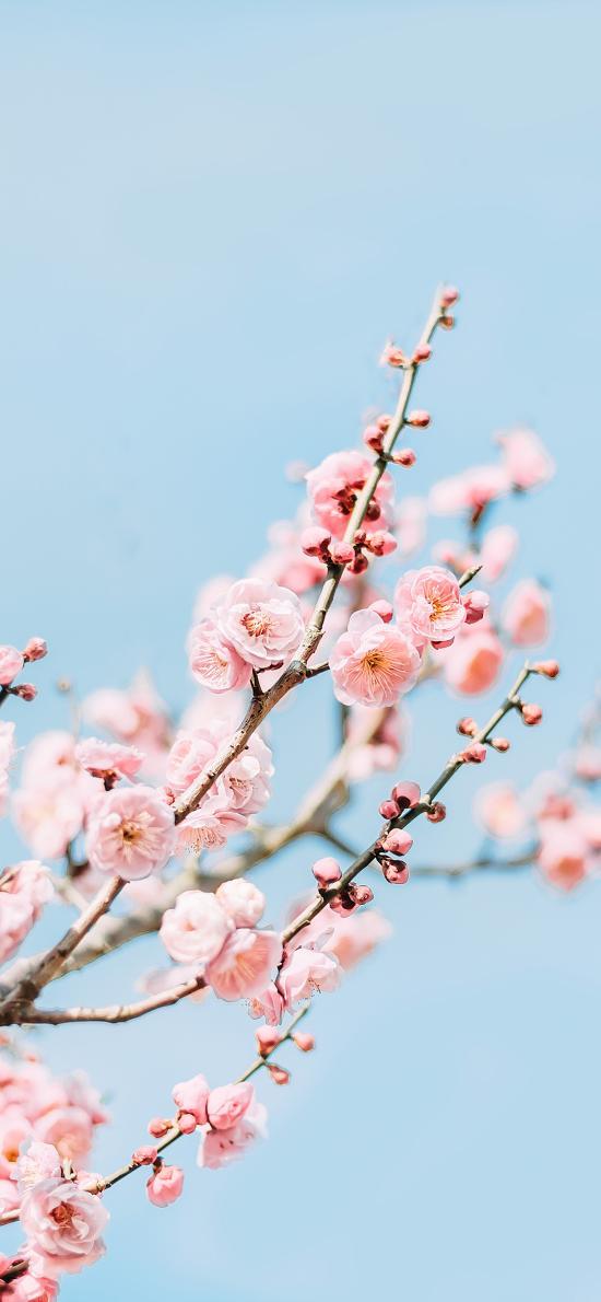 梅花 鲜花 枝头 盛开