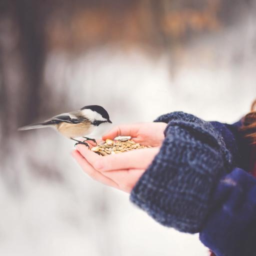 飞鸟 小鸟 山雀 喂食