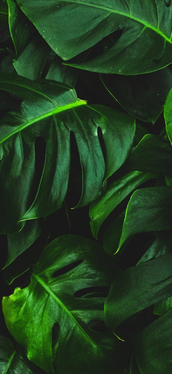 龟背竹 绿叶 观赏性 绿植