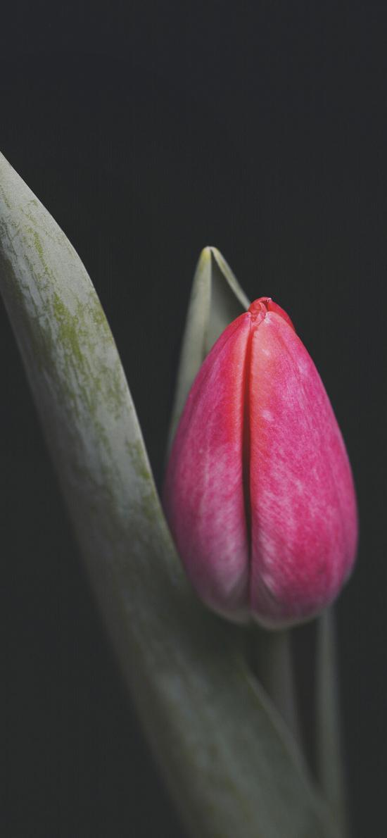 郁金香 鮮花 花苞 枝葉