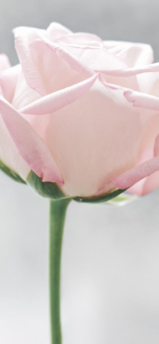 玫瑰 鮮花 花朵 粉