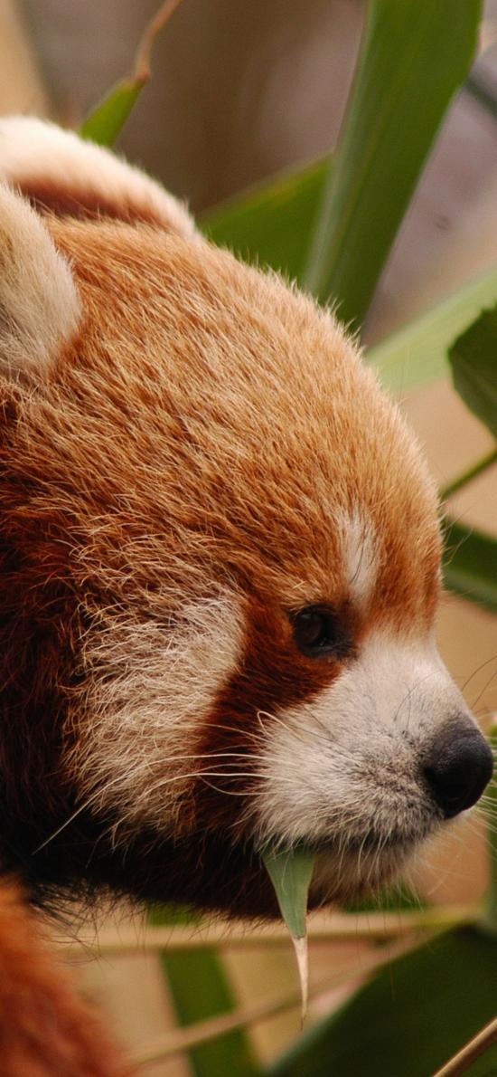 小熊猫 枝叶 皮毛 竹叶