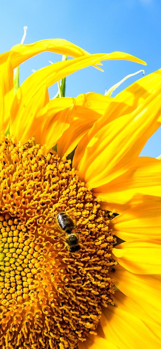 向日葵 鲜花 盛开 蜜蜂
