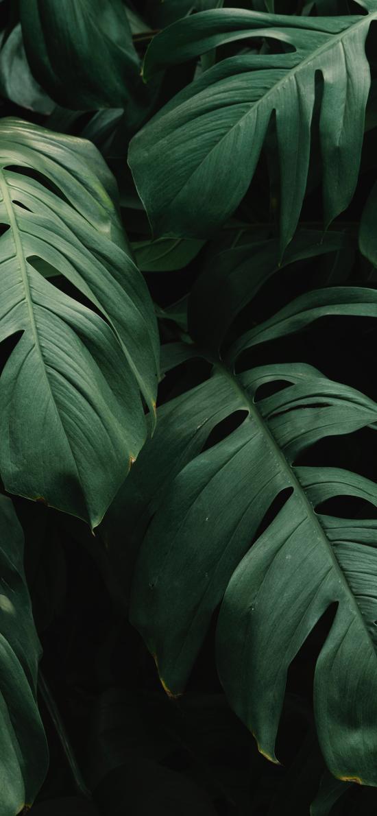 绿植 龟背竹 枝叶 绿化