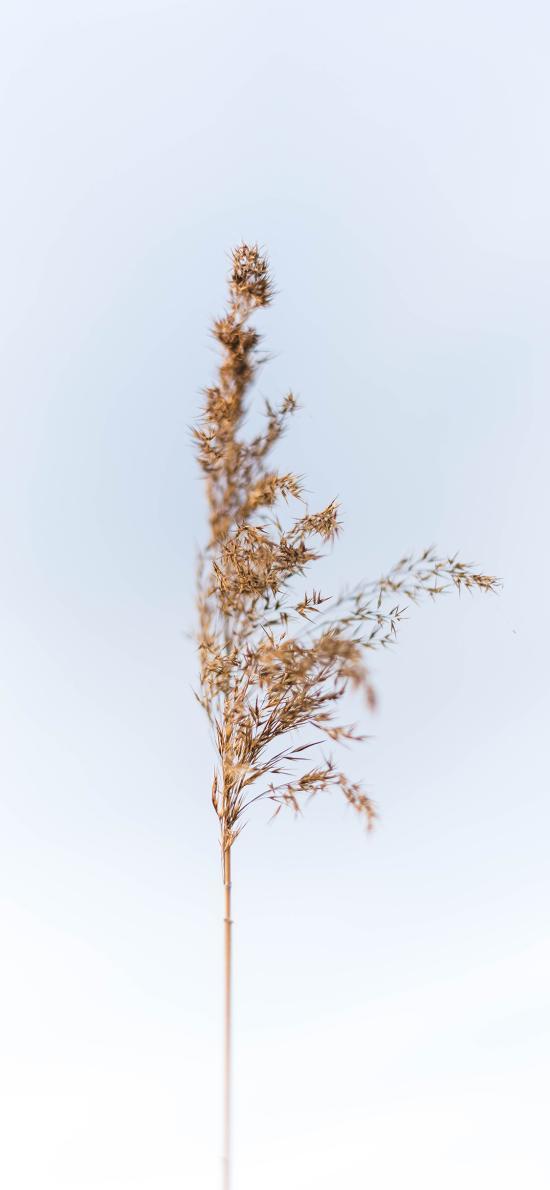 枯黃 蘆葦 野草 綠植