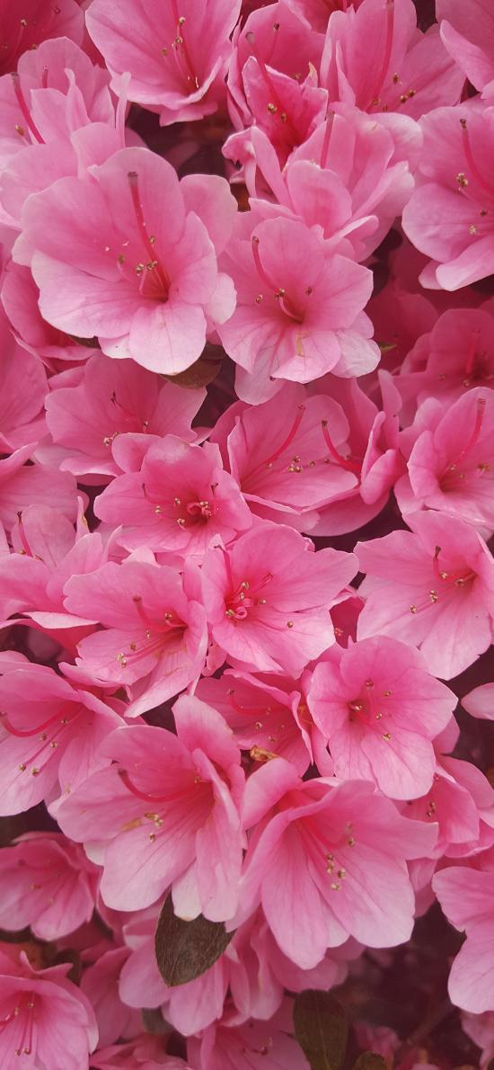 映山红 鲜花 粉色 盛开 春天