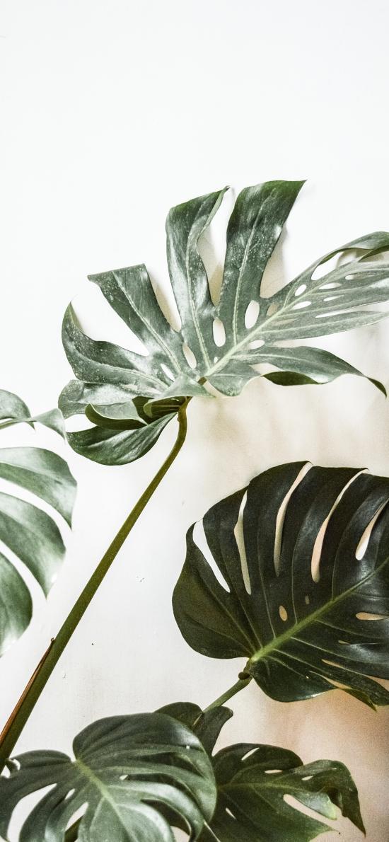 龟背竹 绿植 盆栽 叶子