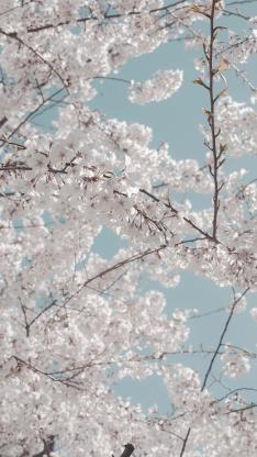 树木 鲜花 白色 唯美 浪漫