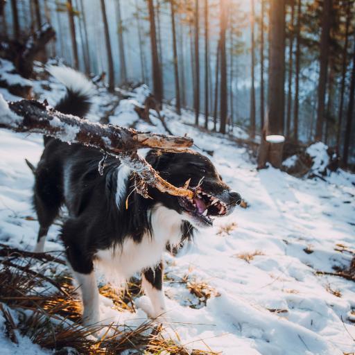 郊外 雪地 宠物狗 牧羊犬