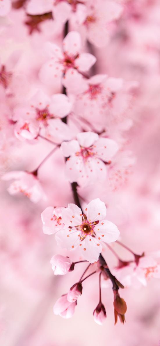 櫻花 鮮花 枝頭 粉色 盛開