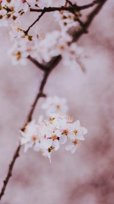 樹木 樹枝 櫻花 粉色 盛開