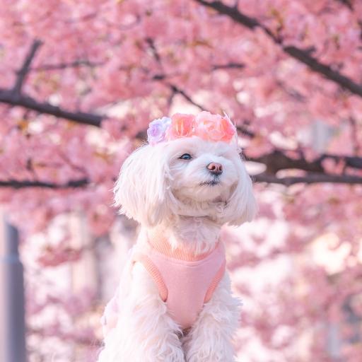 狗 汪星人 宠物 樱花 粉色 可爱