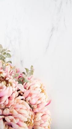 鮮花 花朵 菊花 粉