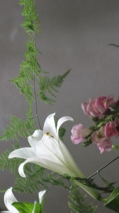 百合 鮮花 綠植 盛開