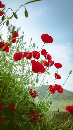 野花 鮮花 麗春花 盛開 花季