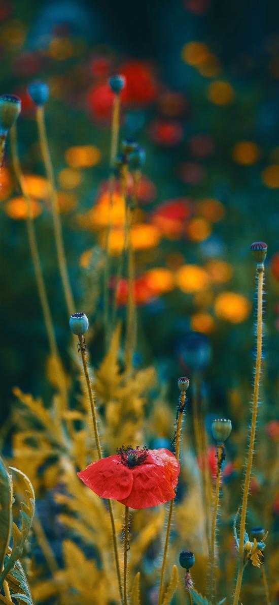 罌粟 毒品 綠植 鮮花