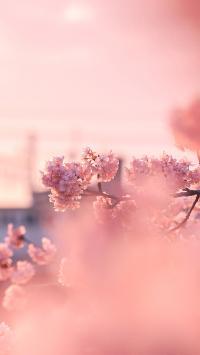 樱花 鲜花 枝头 粉色 浪漫 盛开