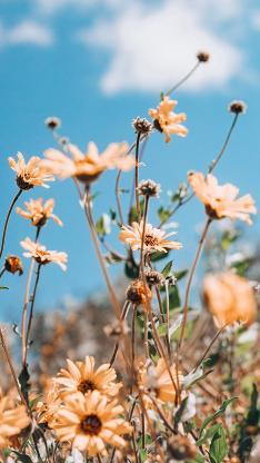藍天 鮮花 菊花 黃色 小清新