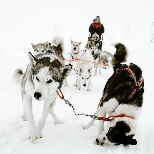 雪地 雪橇犬 阿拉斯加犬 拉车
