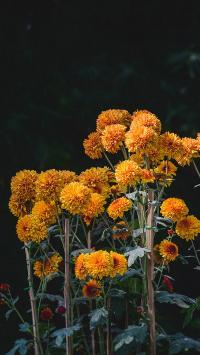 鲜花 菊花 花丛 盆栽