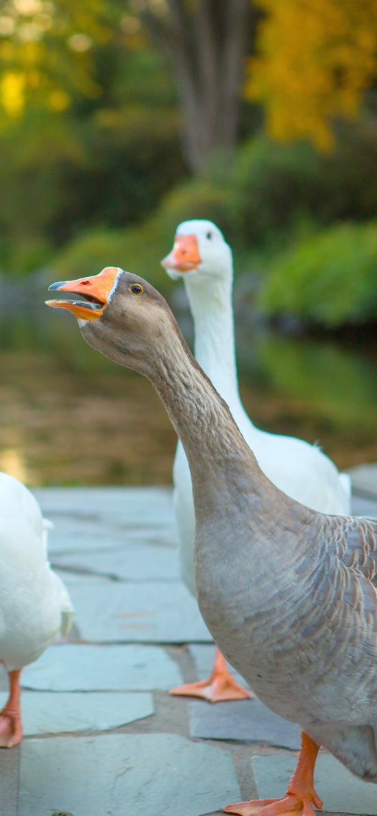 鹅 家禽 养殖 脖子 羽毛