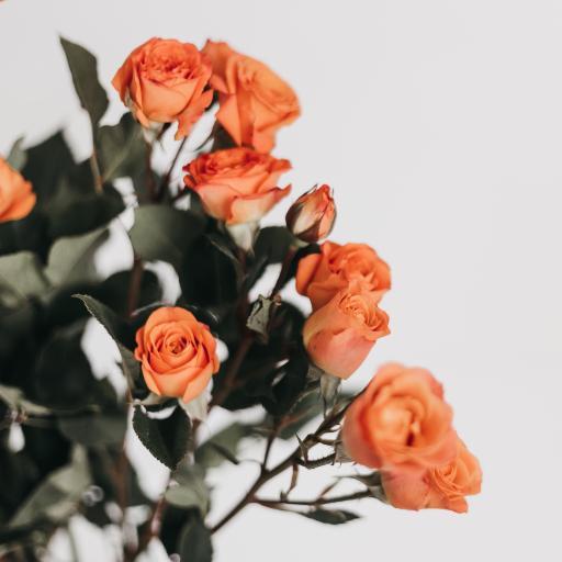 鲜花 玫瑰 枝叶 花朵