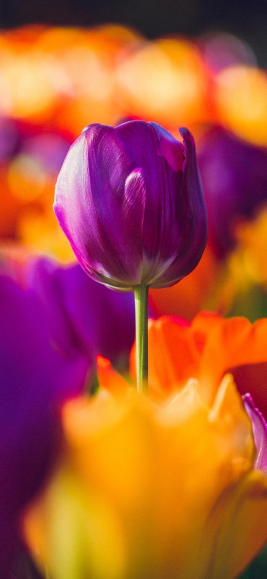 荷兰国花 郁金香 紫色 花苞
