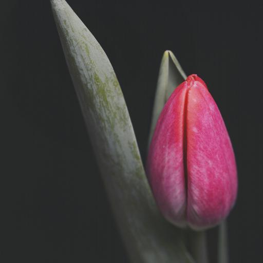 郁金香 鲜花 花苞 枝叶