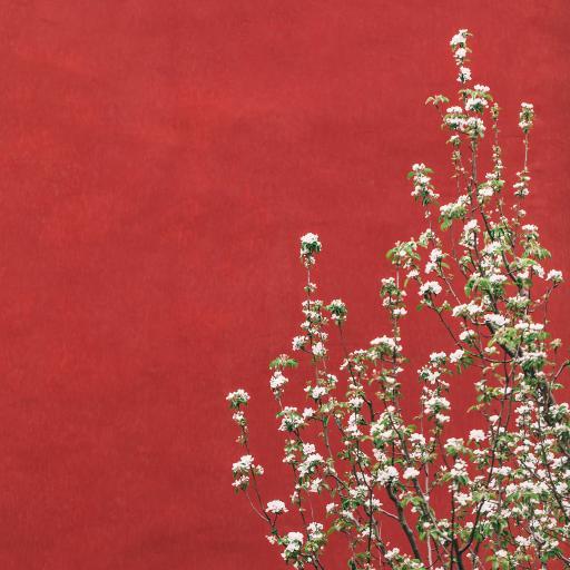 鲜花 红墙 故宫 枝头 盛开