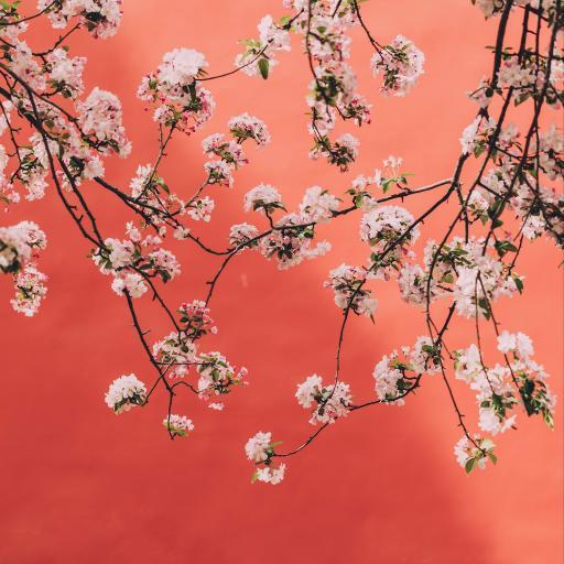 鲜花 枝头 盛开 春天 红墙 故宫