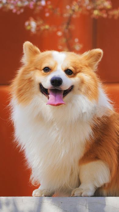 柯基 宠物 可爱 犬类